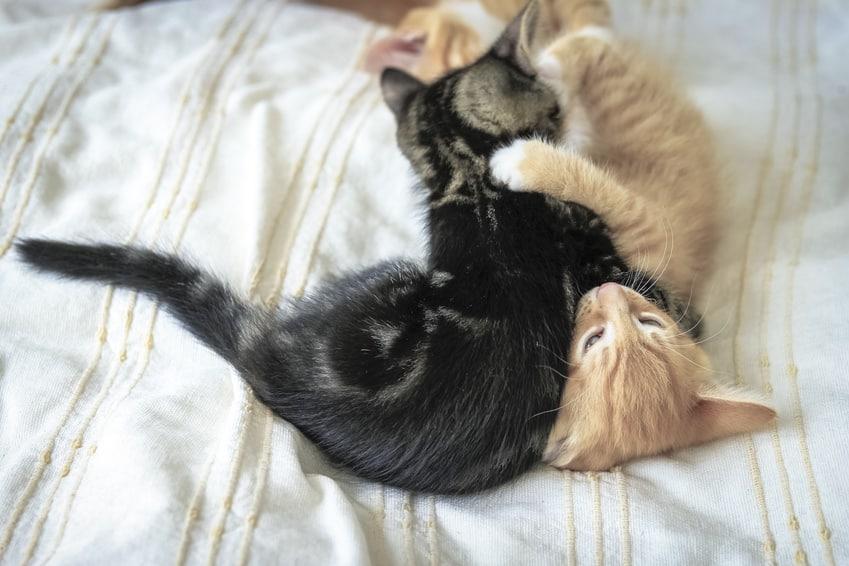 Bild: Katze nicht alleine halten - Wohnungskatzen - Spielen, Toben, Schmusen, Putzen