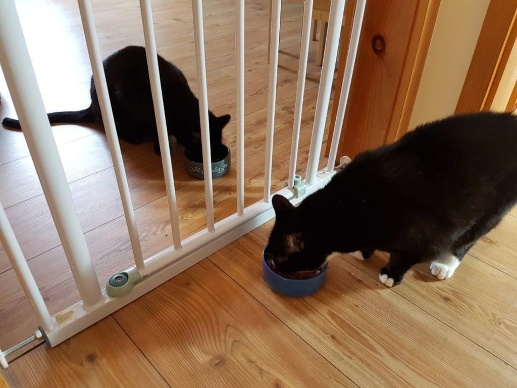 Bild: Katzen zusammenführen, aneinander gewöhnen, Katzen fressen zusammen