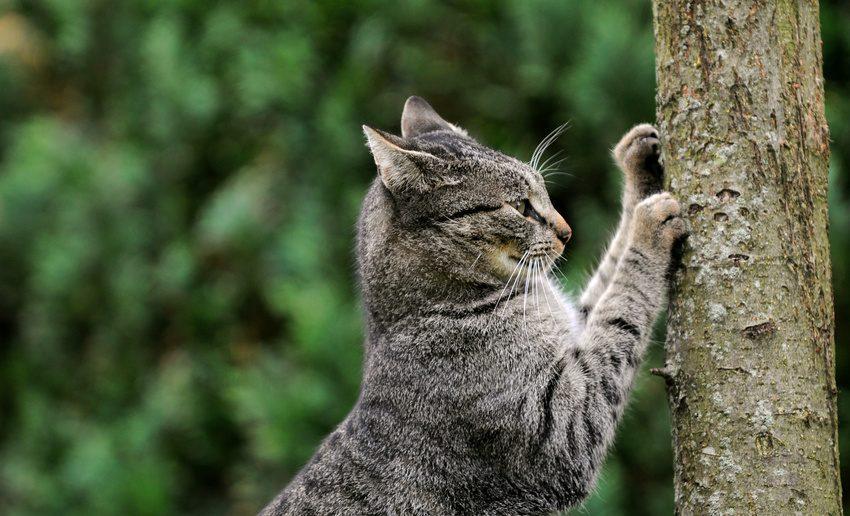 Warum kratzen Katzen?