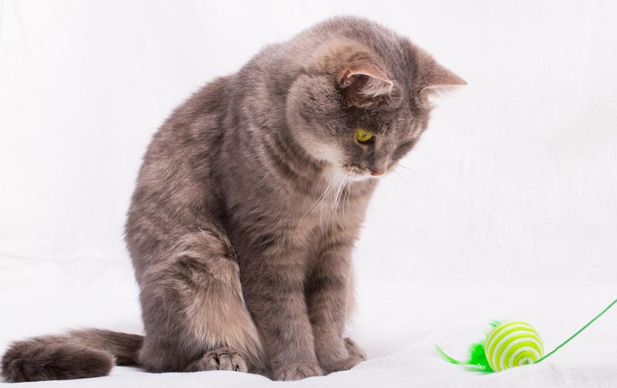 Dicke Katzen brauchen mehr Bewegung um anzunehmen. Die Katzenangel ist hervorragend für die Katzendiät