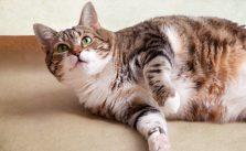 Katze Diät - Dicke Katze liegt auf dem Boden. Deutlich sind die Fettpolster zu sehen