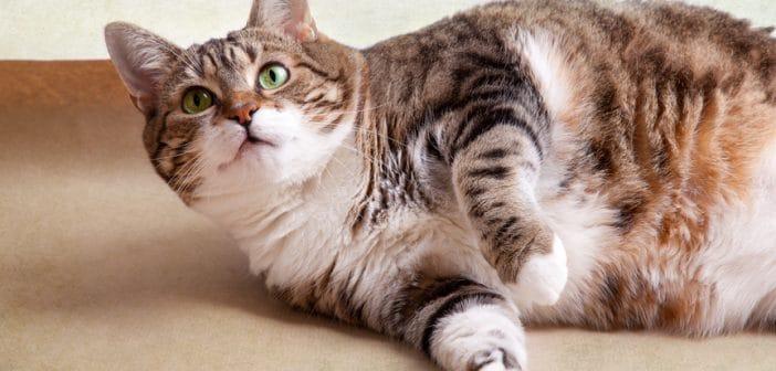 Übergewicht bei Katzen: Diät-Tipps für dicke Katzen