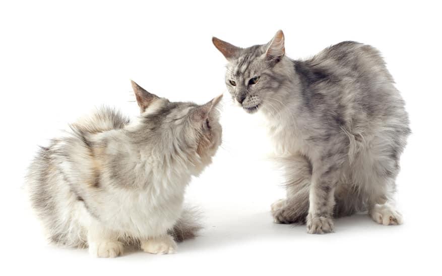 Katzenzusammenführung - Folgen, Streit, Kämpfe, Mobbing