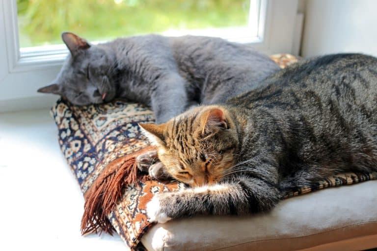 Katzen aneinander gewöhnen - 5 Tipps