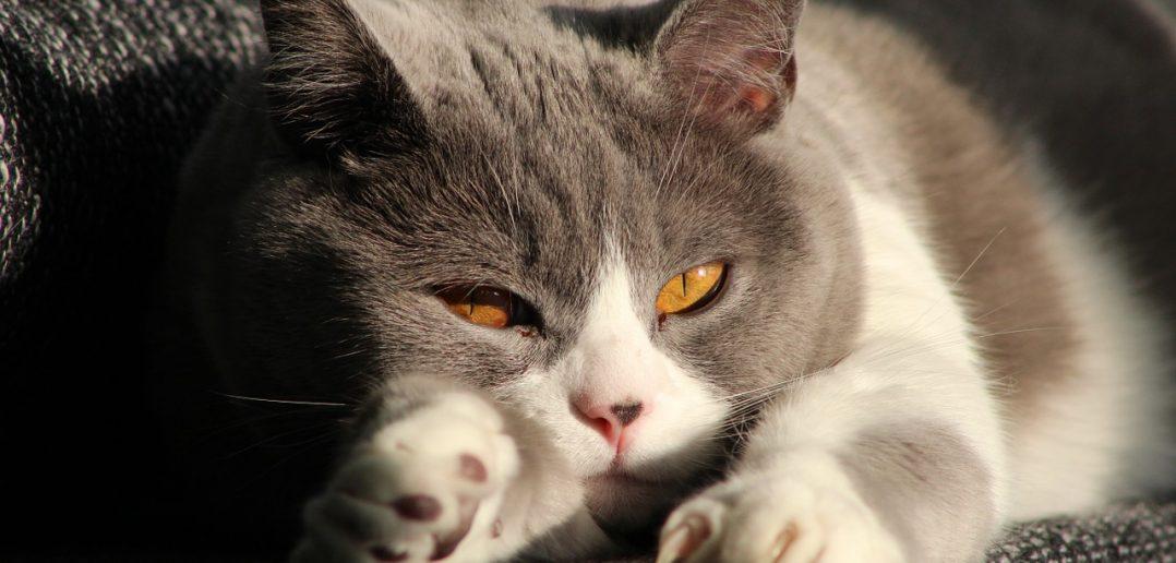 Katze Müdigkeit Bachblueten Globulis
