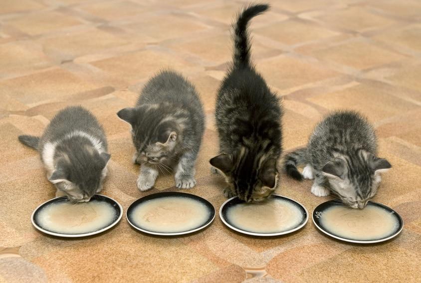 Futterumstellung Kitten Breinahrung