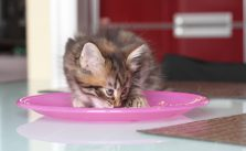 Kitten auf feste Nahrung umstellen