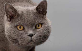 Rassebeschreibung Britisch Kurzhaar-Katze