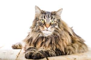 Norwegische Waldkatze Rassebeschreibung Katzenkram