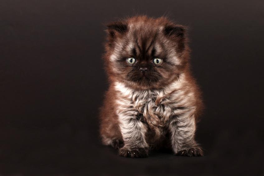Perserkatzen Kitten