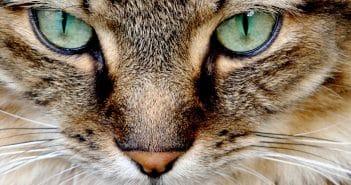 Tränende Augen bei Katzen