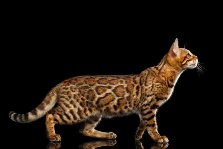 Bild einer Bengalkatze, Fell, Muster