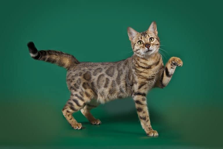 Bild einer Bengalkatze - Portrait, Rassebeschreibung