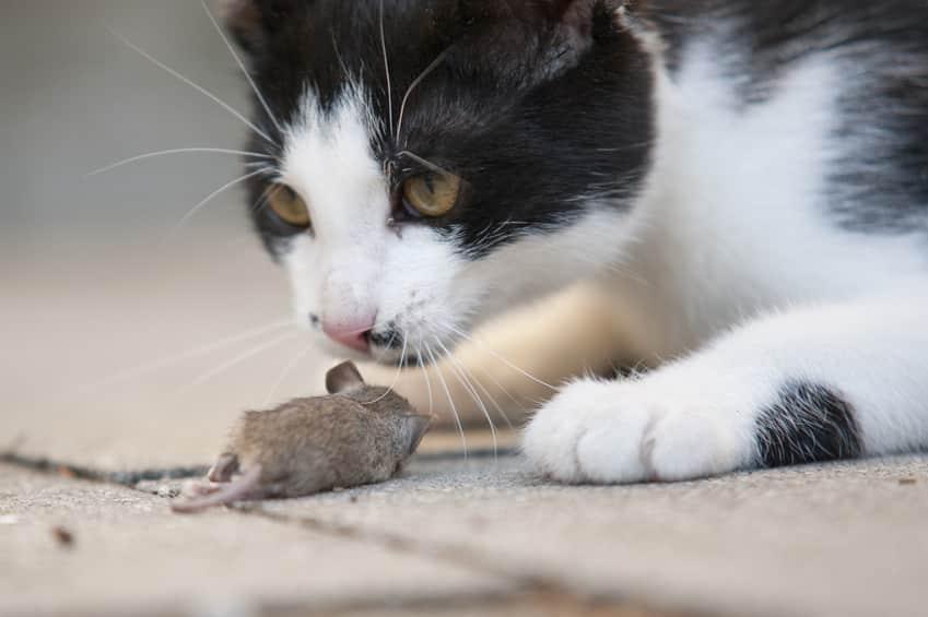 Bild/ Foto: Katze fängt Maus, kann sich mit Würmern anstecken