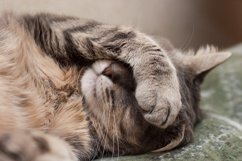 Bild / Foto: Kranke Katze mit Erkältung. Niesen als Krankheits-Symptom