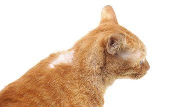 Bild / Foto: Katze kahle Stellen im Fell