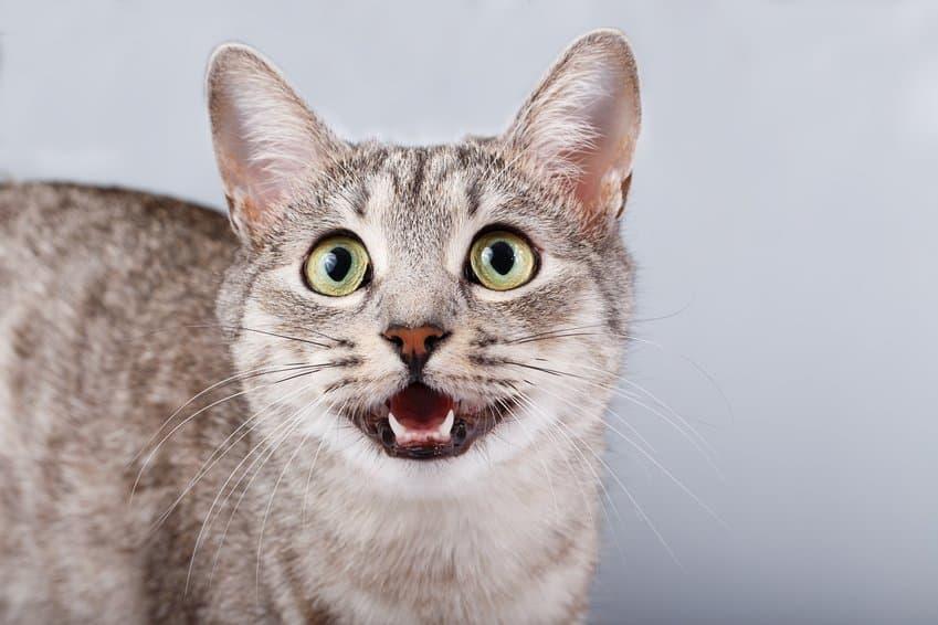 Bild / Foto: Katze miaut aus Langeweile