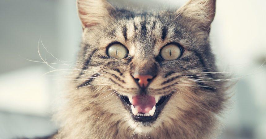 Bild / Foto: Katze miaut ständig