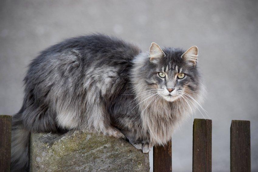 Bild / Foto: Norwegische Waldkatze - wann ist eine Katze ausgewachsen?