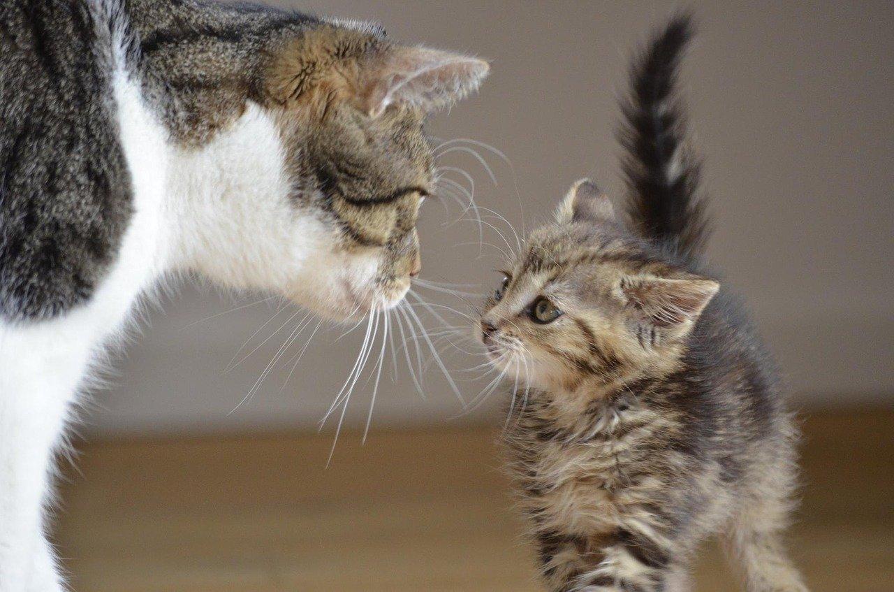 Die Europaische Kurzhaar Katze Charakter Kosten Haltung Tiermedizin Dr Gumpert