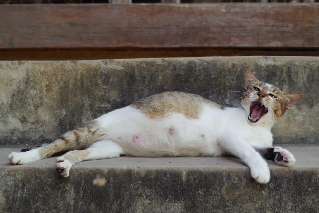 Katze Trächtigkeit Anzeichen
