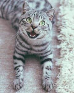 Katze hechelt Anstrengung nach dem Spielen