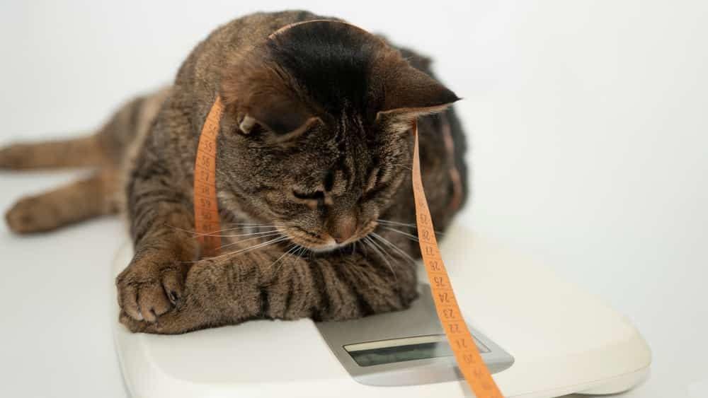 Diät bei Katzen