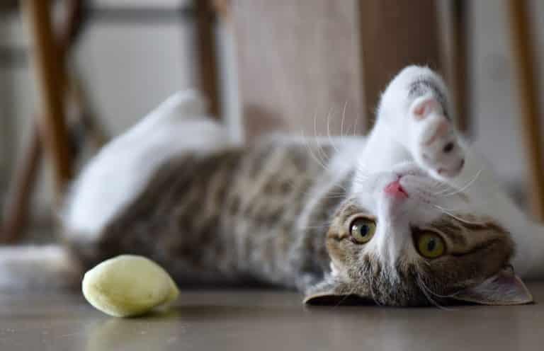 Katze spielt mit Baldriankissen