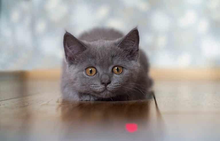 Katze spielt mit Laserpointer, versucht den roten Punkt zu fangen