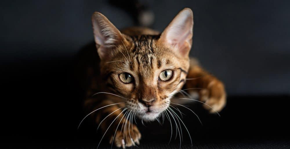 Katze Schnurrhaare Jagd
