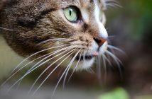 Katze Schnurrhaare Vibrissen
