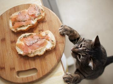 Katze bettelt, klaut essen