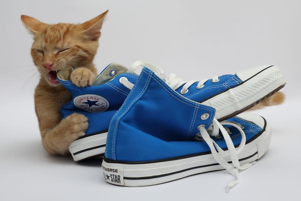 Katze knabbert an einem blauen Schuh