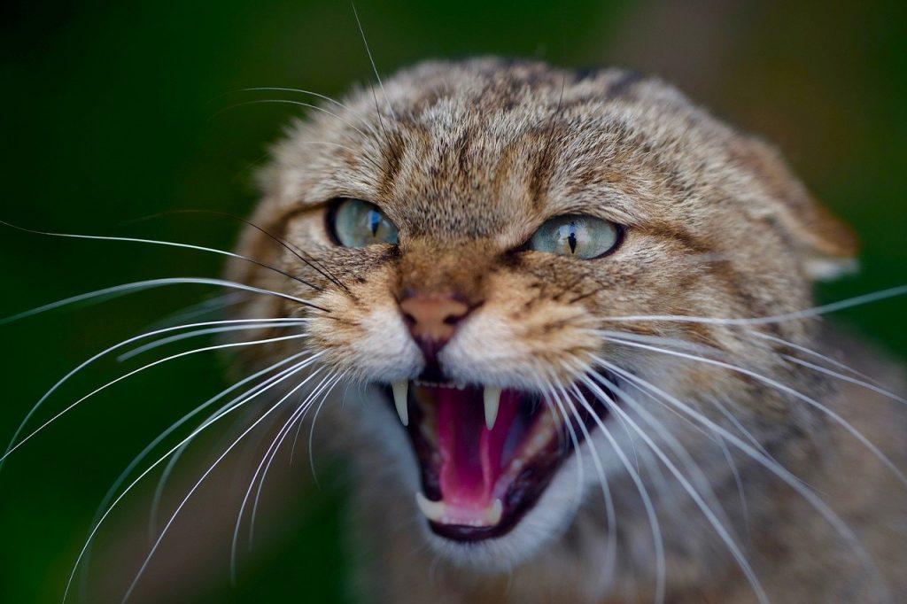 Aggressive Katze droht, faucht und wird gleich zum Angriff übergeben und beißen