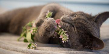 Eine Katze riecht an und spielt mit Katzenminze