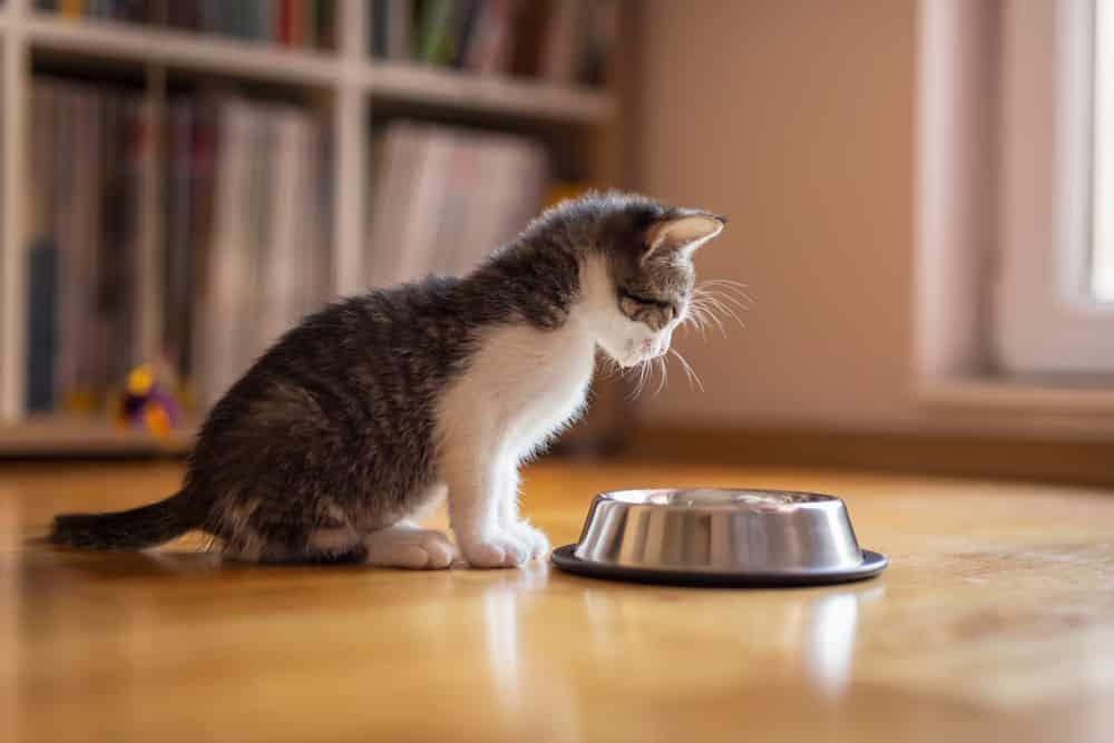 Kitten fütern wie oft