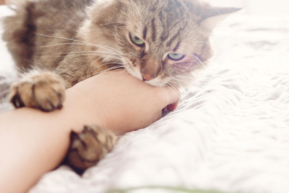 Eine Katze zeigt ihre Zuneigung zum Menschen durch den Katzenbiss