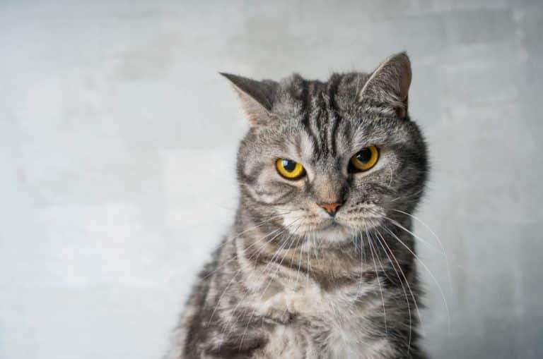 Nachtragende Katze, die vorwurfsvoll guckt