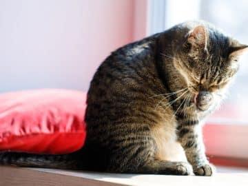 Eine Katze putzt sich um Stress abzubauen - eine typische Übersprungshandlung bei Katzen