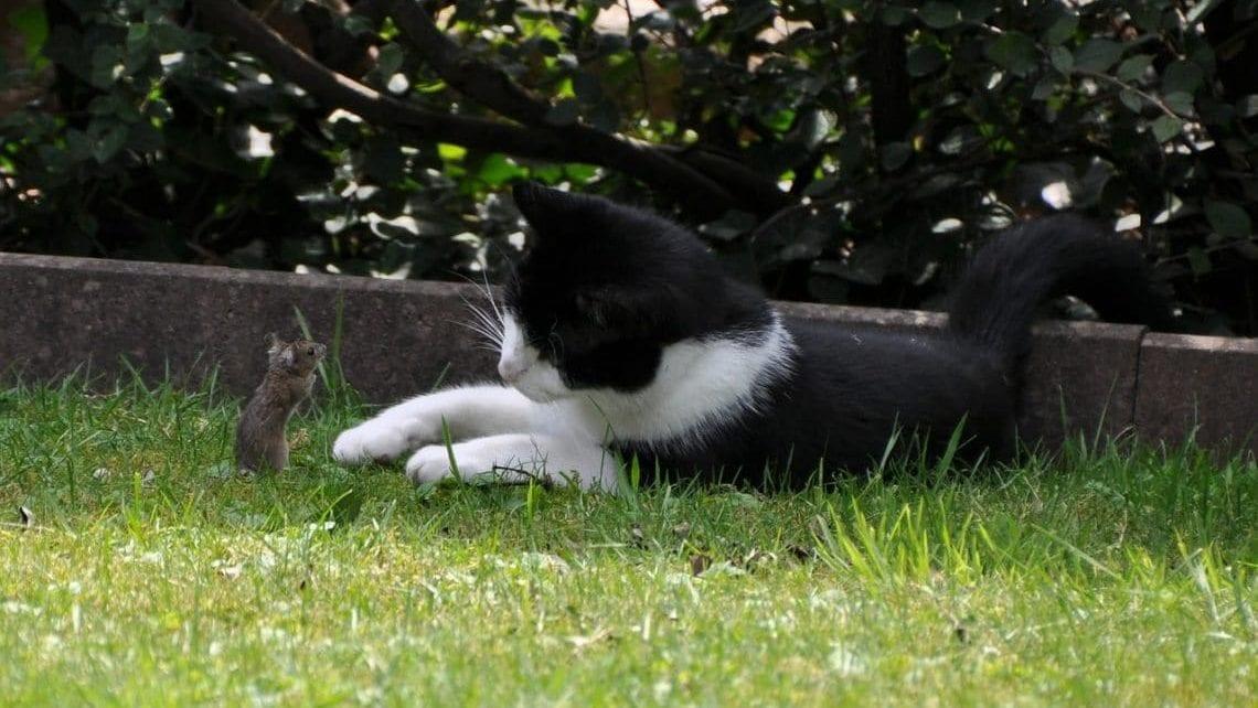 Katze Erbrechen Fremdkörper / Maus