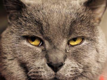 Katze mit tränenden Augen